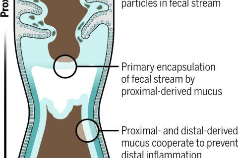 Figure depicting the mucus barrier (Credit: Val Altounian/AAAS)
