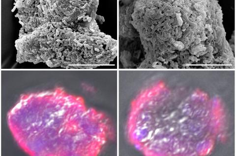 Smectite microspheres specifically support the typical probiotics, L. acidophilus and B. longum to form biofilms on the surface. (Credit: Lei Dong, Nanjing University)