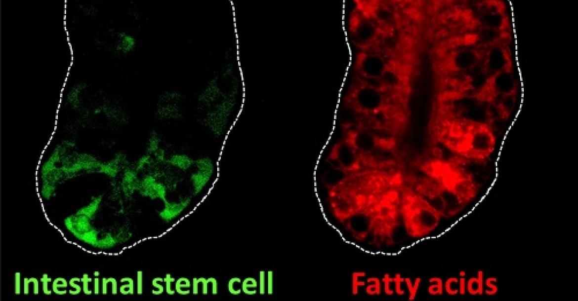 Intestinal stem cells (green) and fatty acids (red) in the intestine of mice. Intestinal stem cells can self-renew and they fuel complete turnover of the intestinal lining every three to five days. Fatty acids are an important nutrient source for the self-renewal of intestinal stem cells (Credit: Lei Chen).