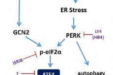 ATF4 is at a point after both pathways come back together (Credit: Penn Medicine)